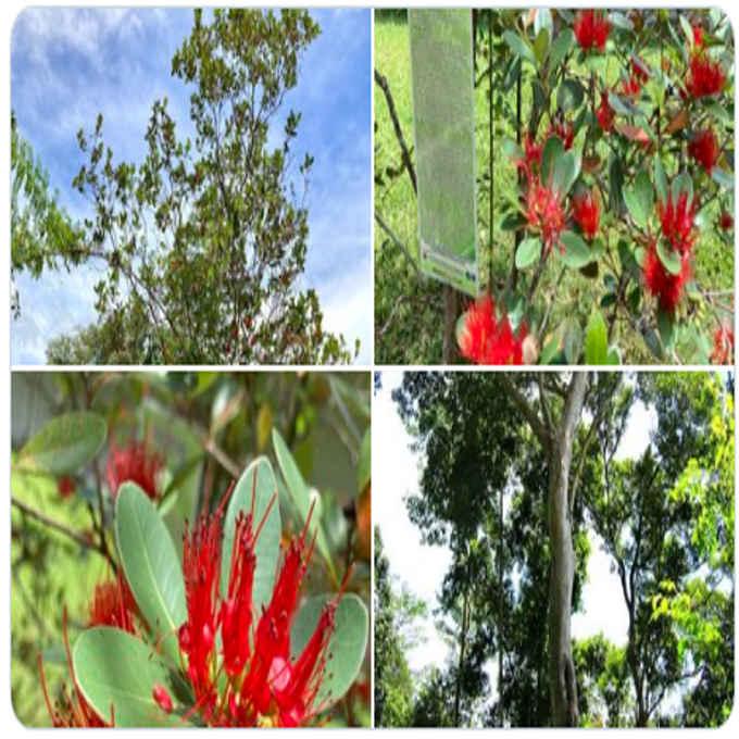 mangkono tree