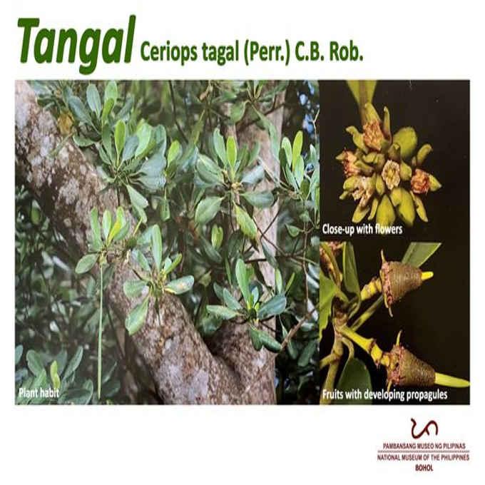 tangal tree