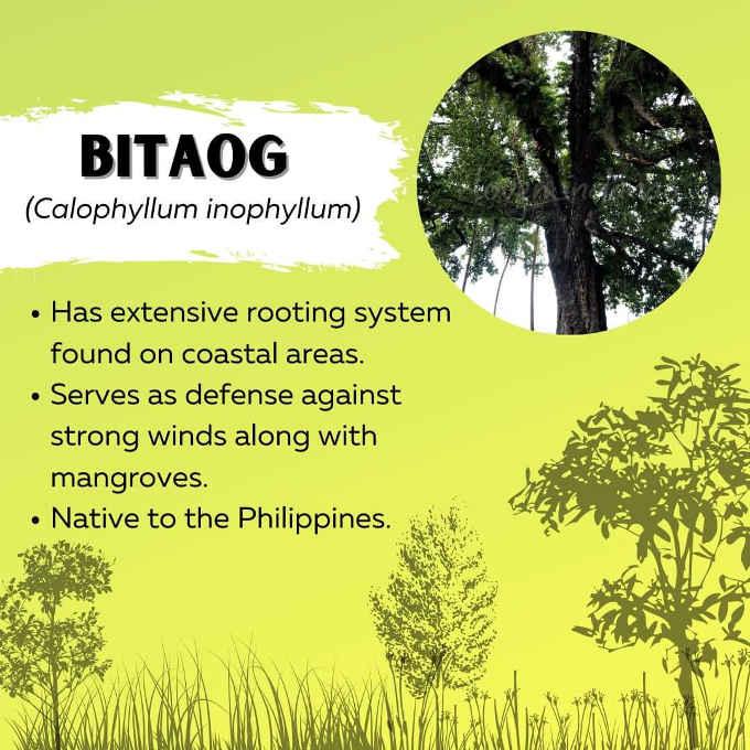 bitaog tree